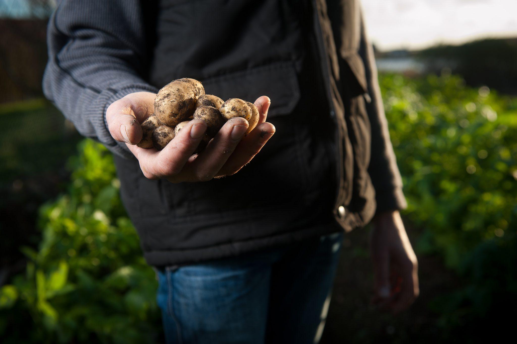 Kartoffelglück zum Anfassen